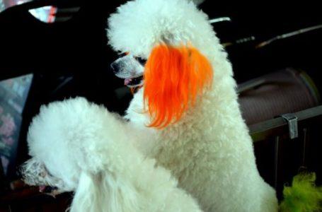 Pet hair dye example - dog