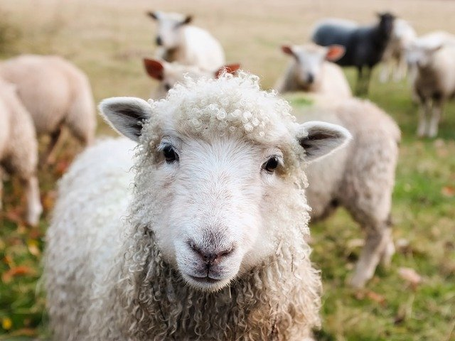 Sheep - animals in the countryside.