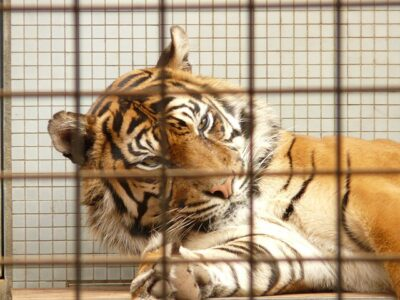 Sumatran tiger in a cage - protect big cats, support the Big Cat Public Safety Act