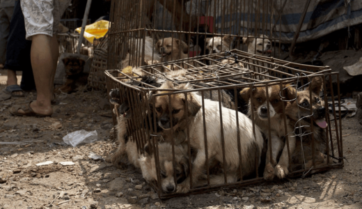 Yulin dog meat festival China