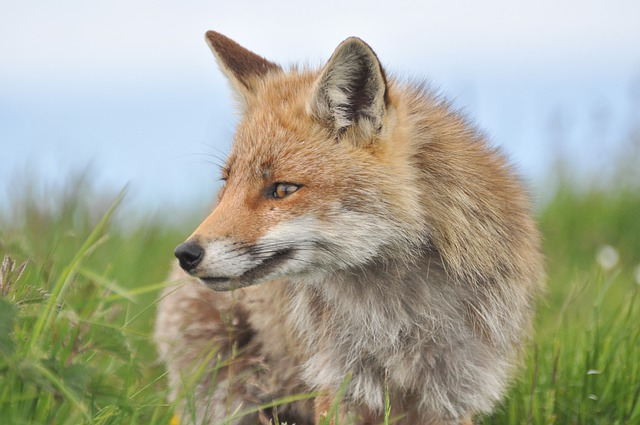Fox - ban trail hunting in the UK.
